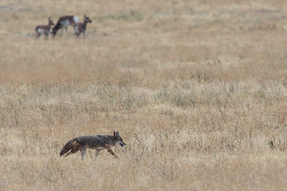 Wild coyote in a field