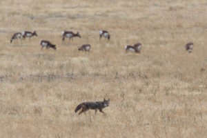Coyotes in a field